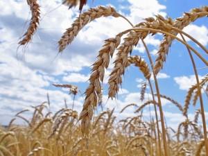 Аналитики рассказали, какой урожай может собрать Украина в 2012 году