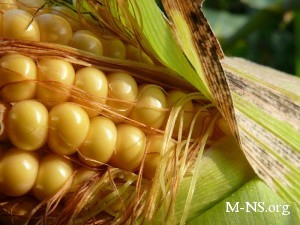 Украина может выбиться в число мировых лидеров по экспорту кукурузы