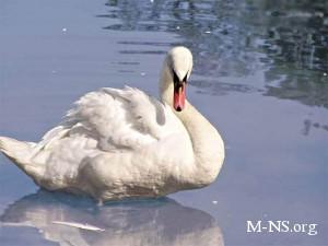 Лебеди замерзают на ледяном озере - спасатели не могут поймать птиц