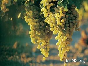 Виноград от Greensad